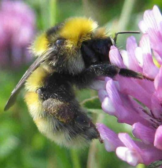 Photograph of Plight of the Bumblebee
