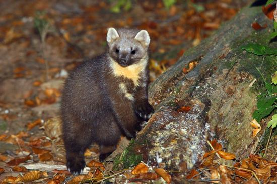 Photograph of Pine Marten Showing Signs Of Recovery Caithness to Central Belt
