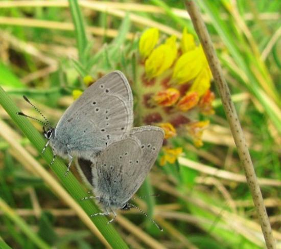 Photograph of Volunteers Wanted To Help Rare Blue Butterfly