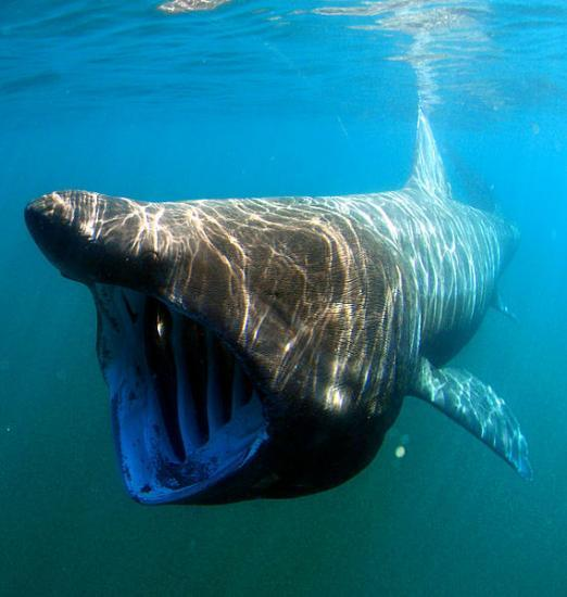 Photograph of Second year of basking shark tagging gets underway