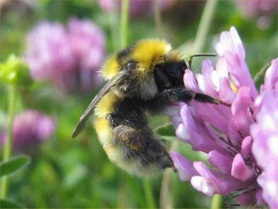 Photograph of Schools in Caithness urged to join up to protect UK's declining bee population