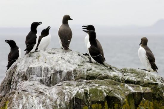 Photograph of Mixed fortunes for seabirds in East Caithness