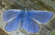 Thumbnail for article : Scotlands butterfly population shows winners and losers