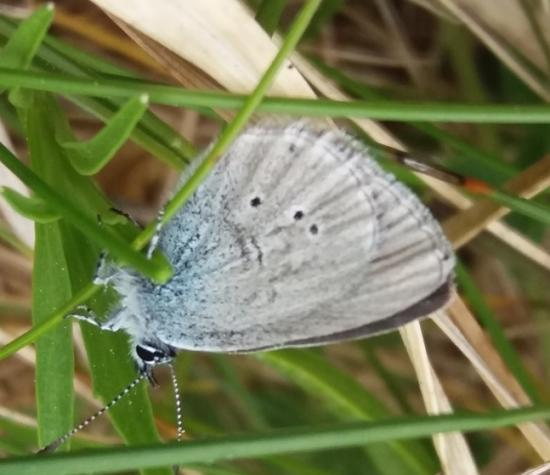 Photograph of Caithness Volunteers enhance habitat for the Small Blue butterfly