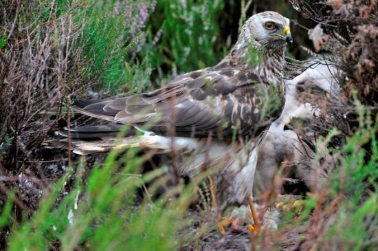 Photograph of Public asked for sightings of rare hen harriers