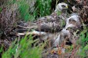Thumbnail for article : Public asked for sightings of rare hen harriers