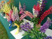Thumbnail for article : Caithness County Show 2019 - Flower Tent